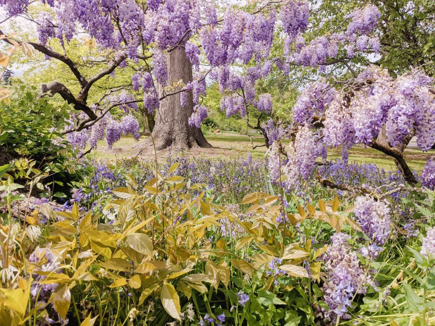 wisteria at bush pasture park in salem oregon